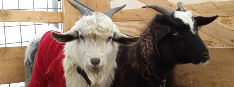 goatsbanner