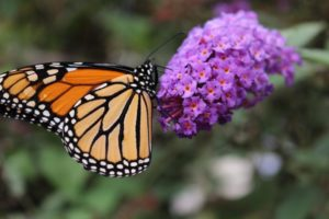 Monarch butterfly in the Pollinator Path at Highfield Hall & Gardens in Falmouth, MA on Cape Cod